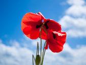 Three poppyes under sunlite against sky — Stock Photo