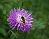 蜜蜂采集花蜜上矢车菊 — 图库照片