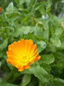 Orange marigold close-up — Stock Photo