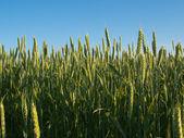 Green wheat ears — Stock Photo