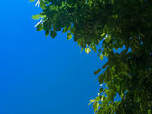 Branch of linden (lime-tree) on sky back — Stock Photo