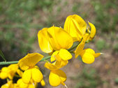 Yellow acacia close-up — Stock Photo