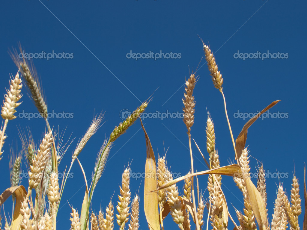 Yellow wheat against clear sky background.  Stock Photo #1169445