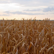 Field with yellow wheat against sunset s — Stock Photo