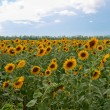 Royalty-Free Stock Photo: Field of sunflowers.