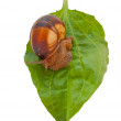 Brown garden snail on a green leaf — Stock Photo