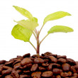 Stock Photo: Green plant growing on coffee beans
