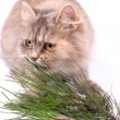 Cat and branch of pine — Stock Photo