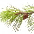 Pine branch — Stock Photo #1178576