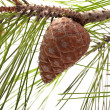 Pine cone on the branch -  