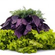 Stock Photo: Frech lettuce, basil and dill