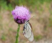 蝴蝶收集花蜜的矢车菊 — 图库照片