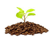Green plant growing on a coffee beans — Stock Photo