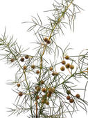 Branch of juniper — Stock Photo