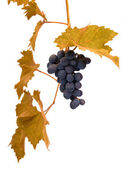 Grape on the white — Stock Photo