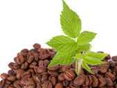Green plant growing in a coffee beans — Stock Photo