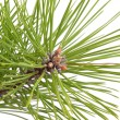 Green pine tree branch — Stock Photo