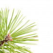 Stock Photo: Green pine tree branch