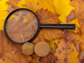 Loupe and yellow platanus leaves — Stock Photo