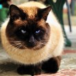 Fat siam cat — Foto Stock