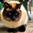 Fat siam cat — Foto de Stock
