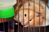 Hamster is drinking — Stock Photo