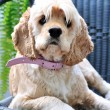 Cocker spaniel — Stock Photo #1427145