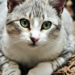 European shorthair cat — Stock Photo