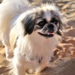 Japanese Chin on the beach — Stock Photo