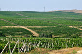 Wineyard — Stock Photo