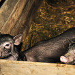 Two pigs - Photo