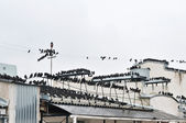 Invasion of starlings — Stock Photo