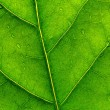 Stock Photo: Green leaf 2