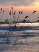 Reed on sundown — Stock Photo