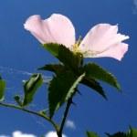 Wild-rose — Stock Photo
