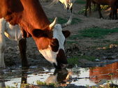 Cow in the evening — Stock Photo
