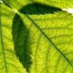 Three green leaves — Stock Photo