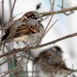Winter sparrow — Stock Photo