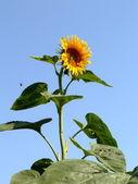 Sunflower and bee — Stock Photo