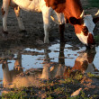 Stock Photo: Cow beside puddles