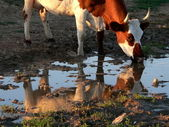 Cow beside puddles — Stock Photo