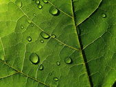 Dark-green leaf with drops of the rain — Stock Photo