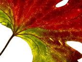 Rouge-vert feuille 2 — Photo