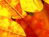 Orange and red leaves like flame — Stock Photo