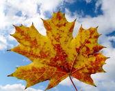 Orange maple leaf — Stock Photo