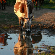 Cow beside puddles 2 — Stock Photo