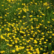 Stock Photo: Dandelions glade 2