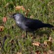 Jackdaw — Stock Photo