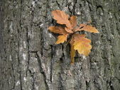 Oak leaves — Stockfoto