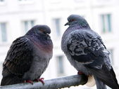 Two doves — Stockfoto